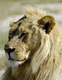 Lion in Etosha National Park, Namibia
